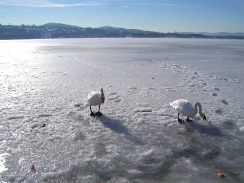 Cigni sul lago ghiacciato