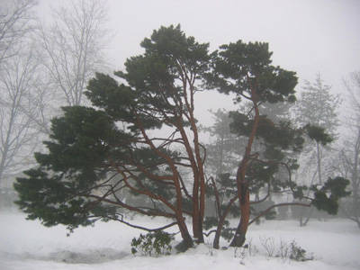 Un pino solitario nella neve
