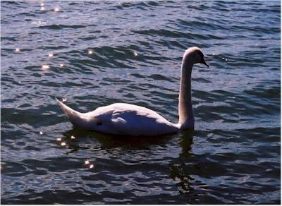Cigni sul lago di Varese