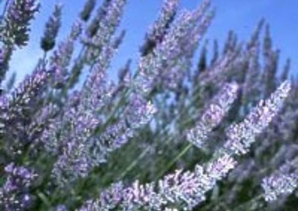 lavanda erba spontanea fiore
