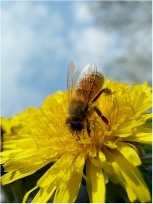 Un'ape al lavoro
