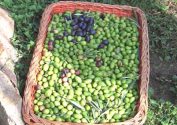 raccolta olive sant'imerio bosto