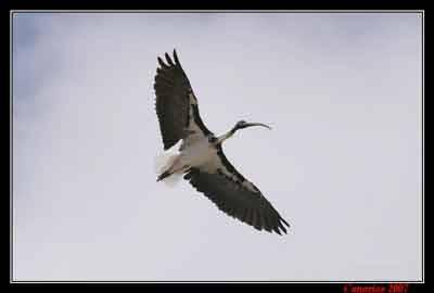 Il volo dell'Ibis