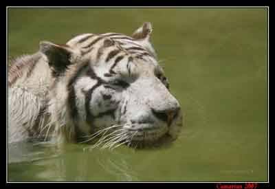 Tigre Bianca al bagno