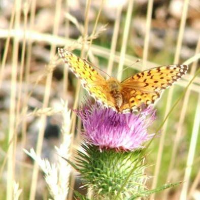 Farfalla su un fiore nei Pirenei