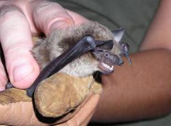 pipistrello saronno