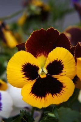 Viola colorata