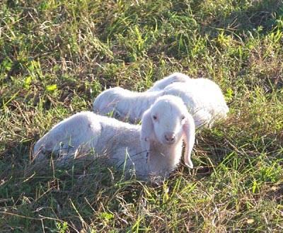 Pecore a Vegonno gregge pastore