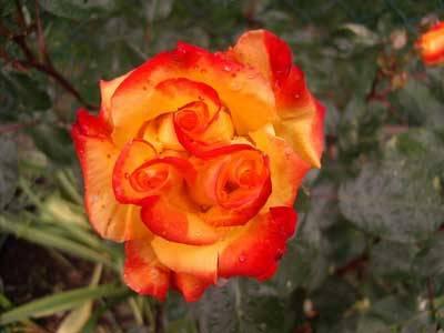 La rosa della Trinità
