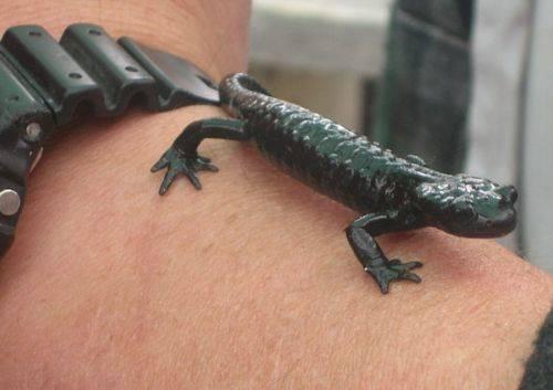 salamandra nera
