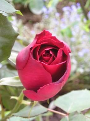 Ti porgerò una rosa