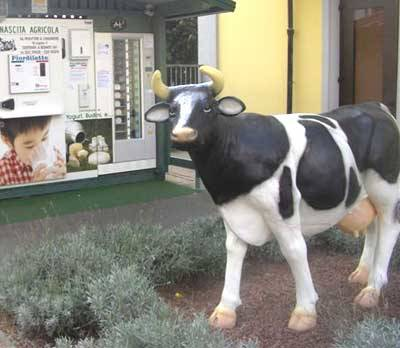 mucca latte casorate sempione