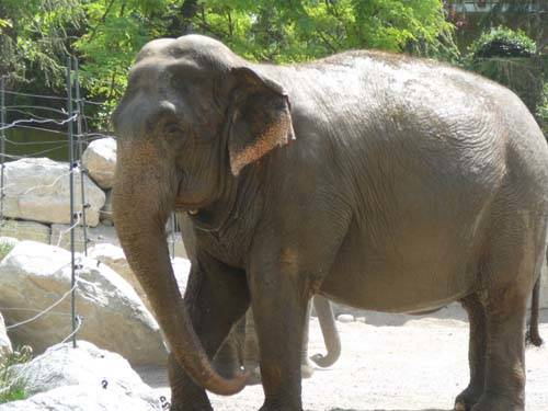 Un elefante a Bergamo!