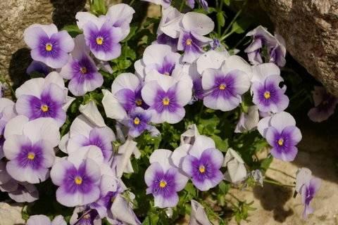 Viola persiana