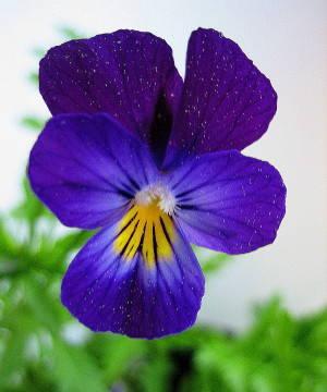 Violetta selvatica -