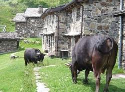 le vacche del Desi (Pian du Lares)