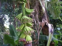 banane michilini