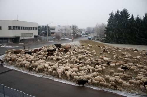 pecore a brunello 22-1-2010