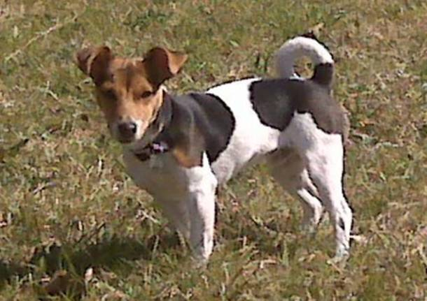 jack russel cane smarrito – Varese News