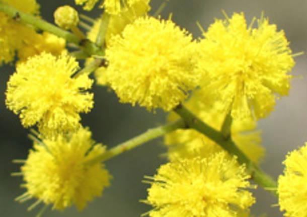 mimosa aprtura prima