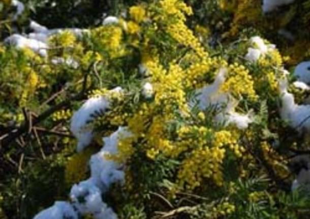 mimose con le neve per seconda