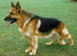 pastore tedesco cani