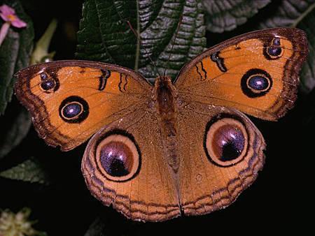 farfalle varese