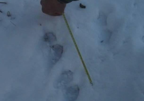 impronte lontra