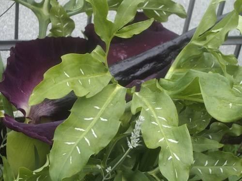 fiore strano dracunculus vulgaris