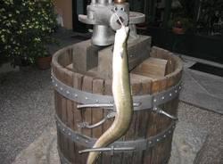 lago pesci angulla 2 chili