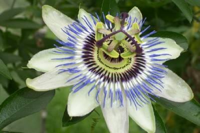 Fiore della passione...