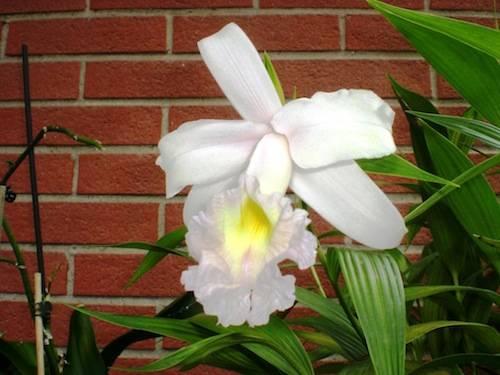 "Orchidea""Sobralia Macrantha"""