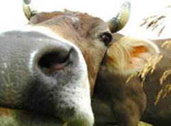 mucca apertura mucche