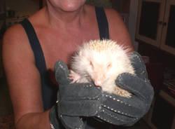 riccio albino bolladello