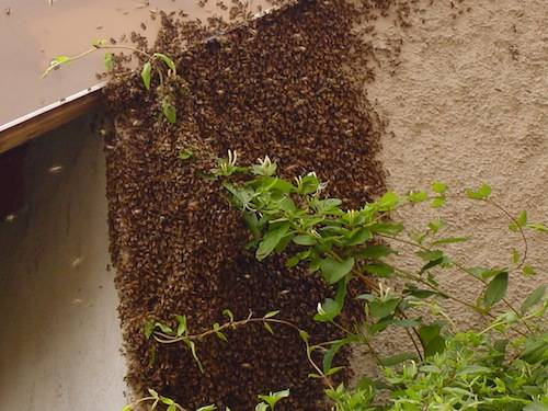 invasione api lettore