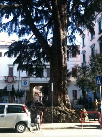 Il cedro di Varese malato (inserita in galleria)