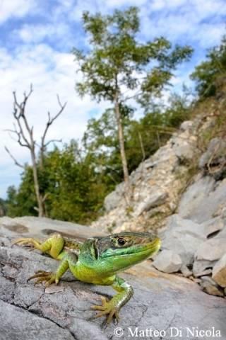 serpente serpenti mostra samarate ramarro (per gallerie fotografiche)