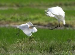 uccelli campagna apertura aironi