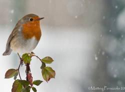 Pettirosso nella nevicata