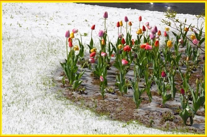 Ganna ,neve sui tulipani