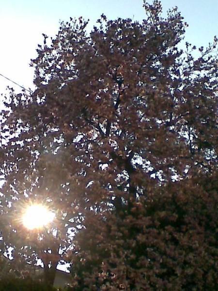 Magnolia rosa con incastonato il sole