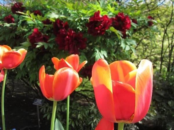 Tulipani e peonie