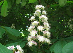 Ippocastano in fiore