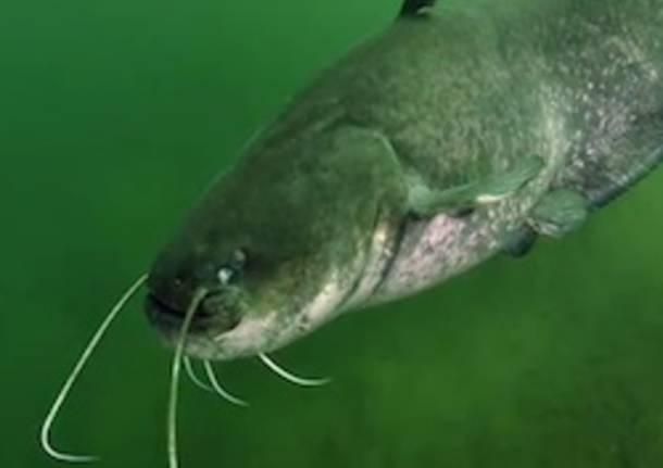 pesce siluro apertura