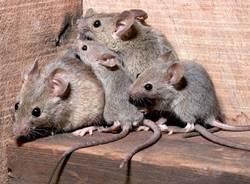 topo ratto dermi derattizzazione