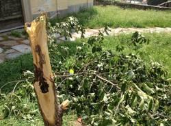 Vandali distruggono l'albero della pace (inserita in galleria)