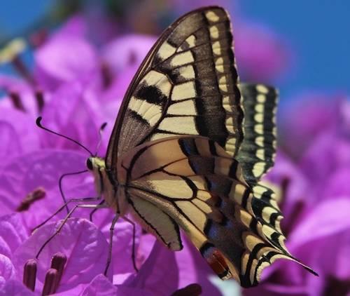 Farfalla Spensierata