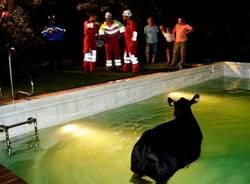 Mucca cade in piscina (inserita in galleria)