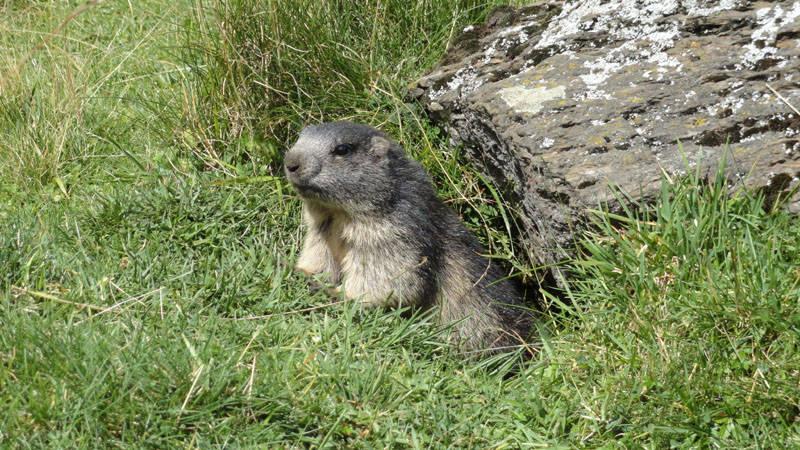 Piccola Marmotta