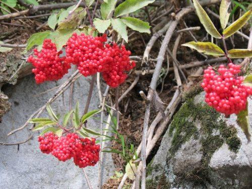 sambucus racemosa (forse)
